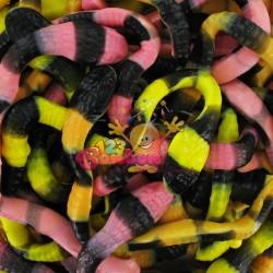 Trolli pit le python